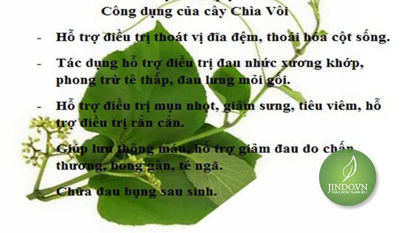 cay-chia-voi-tac-dung-chua-thoat-vi-dia-dem-tri-dau-xuong-thao-duoc-xanh-so-1-jindo.vn-6